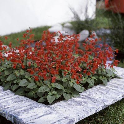 Paprikavirág – Salvia Splendens