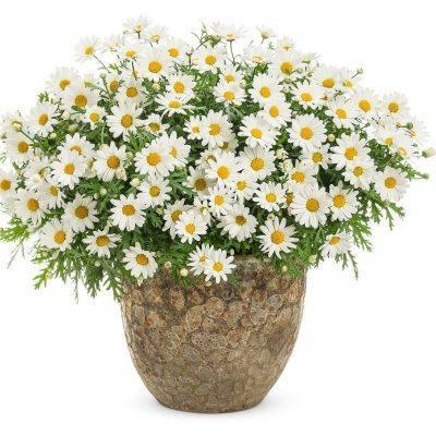 "Margaréta – Argyranthemum frutescens ""Molimba"""