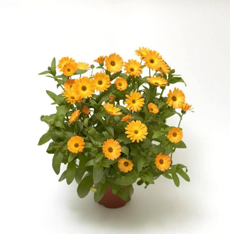 Körömvirág - Calendula Officinalis