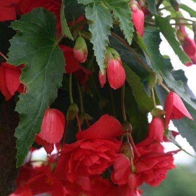 "Csüngő gumós begónia  – Begonia tuberhybrida ""Tenella"""