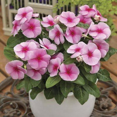 Rózsameténg – Caranthus Roseus