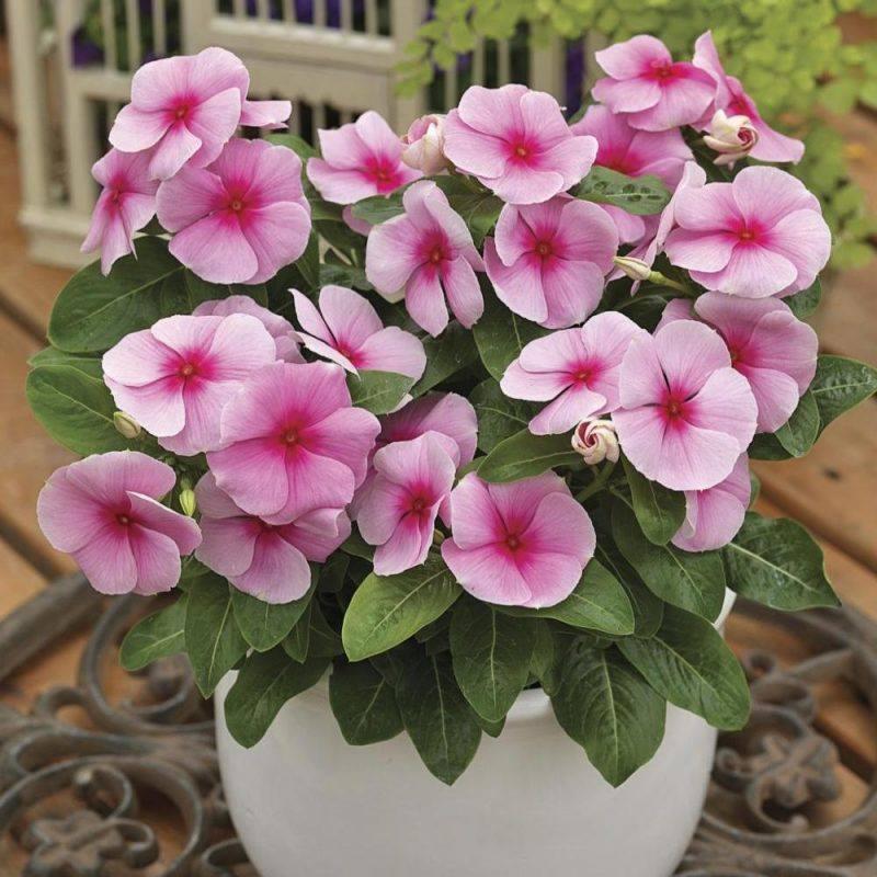 Rózsameténg - Caranthus Roseus