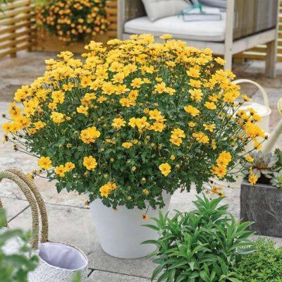 """Balkon aranya – Bidens Ferulifolia """"Solaire"""""""